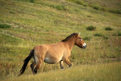 Przewalski horse released back into the wild in Mongolia. ©Getty Images