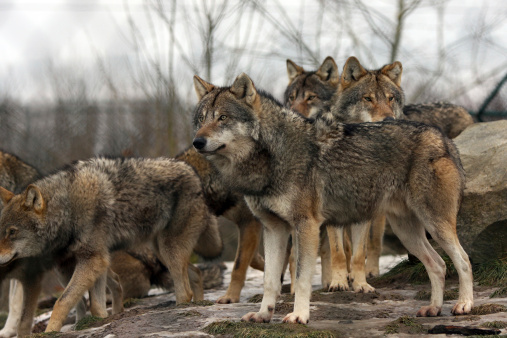 Wolf pack ©Getty Images