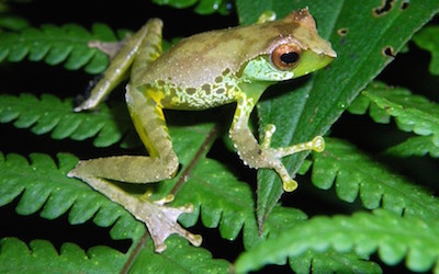 Male Quang's tree frogs sing different songs to attract females.
