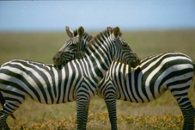 No two zebra patterns are alike Getty