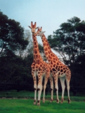 Giraffes in an open range zoo ©kidcyber