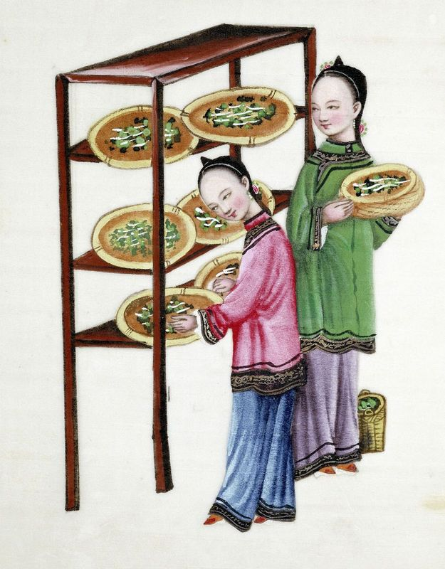 The Chinese were the first people to learn how to make silk from the cocoons of silkworms. They were making it 5000 years ago. © Getty Images