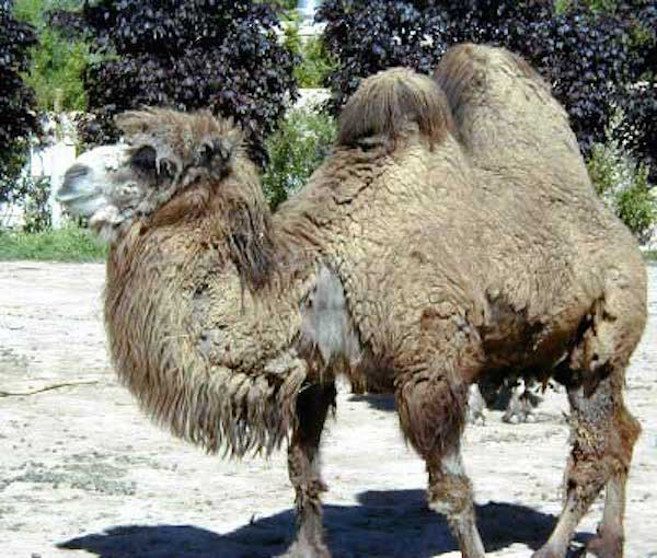 A bactrian camel beginning to moult. Getty Images