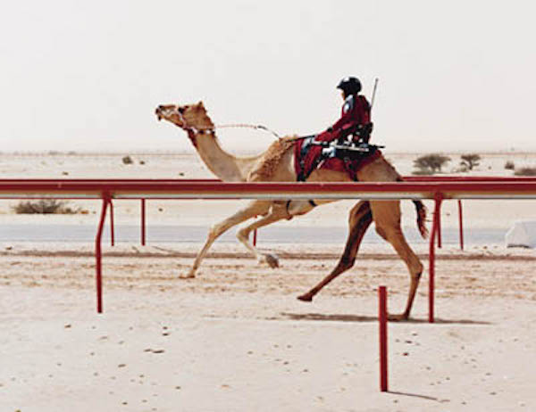 A racing camel. See how a camel moves the two legs on one side of the body together . Getty Images