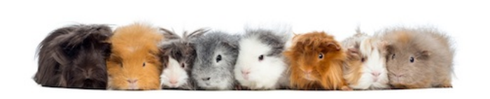 Guinea pigs are different colours ©Getty Images