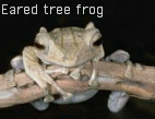 Eared tree frog