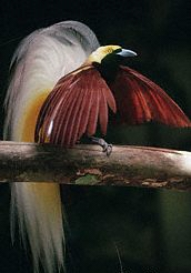 A male Greater Bird of Paradise