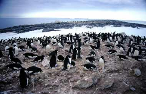 Adelie penguins: the smallest Antarctic penguins © Getty Images