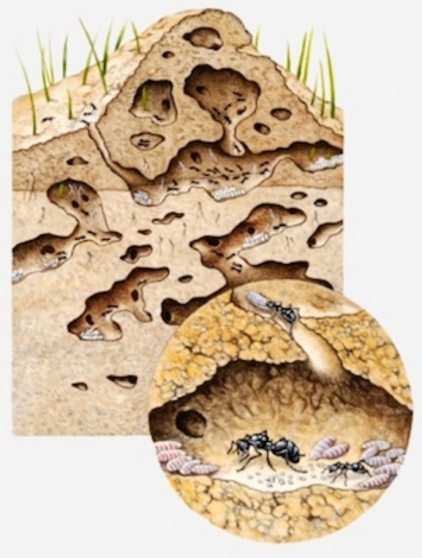Illustration of the inside of an ant nest. See the queen in her chamber. ©Getty Images