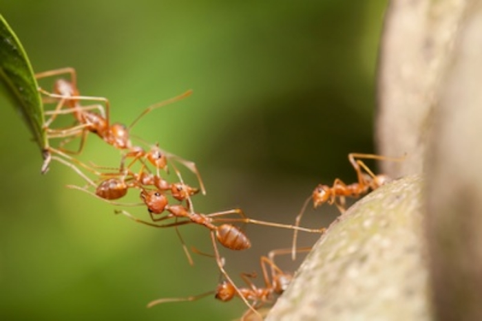 Ants forming a bridge so other workers can cross a gap. ©Getty images