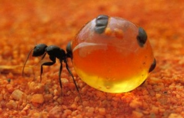 Honeypot ant ©Getty Images