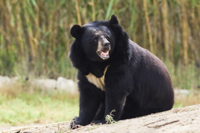 Asiatic black bear has a crescent shaped patch of white fur on its chest ©Getty Images