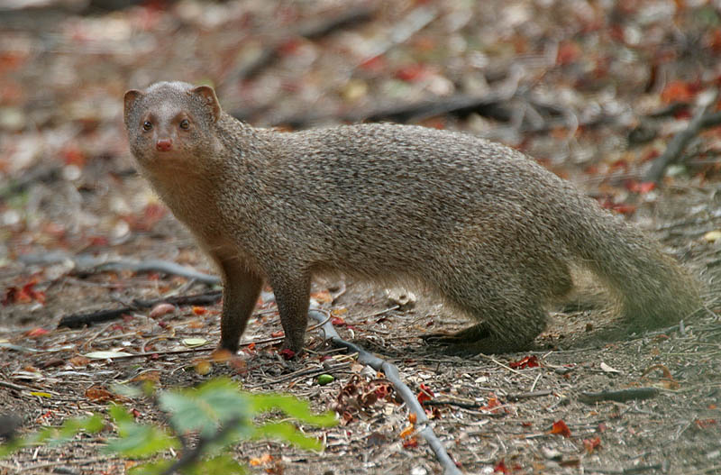 Indian grey mongoose helps people by killing scorpions, rats and snakes. By J.M.Garg (Own work) [CC BY-SA 3.0 (http://creativecommons.org/licenses/by-sa/3.0) or GFDL (http://www.gnu.org/copyleft/fdl.html)], via Wikimedia Commons