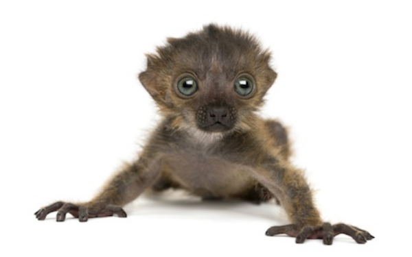 3 week old black lemur, the only primate with blue eyes. ©Getty Images