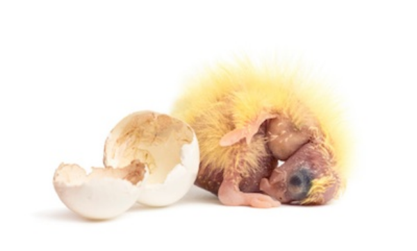 Newly hatched cockatiel chick ©Getty Images