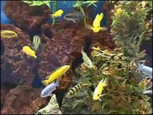 An aquarium of Lake Malawi cichlids. ©kidcyber