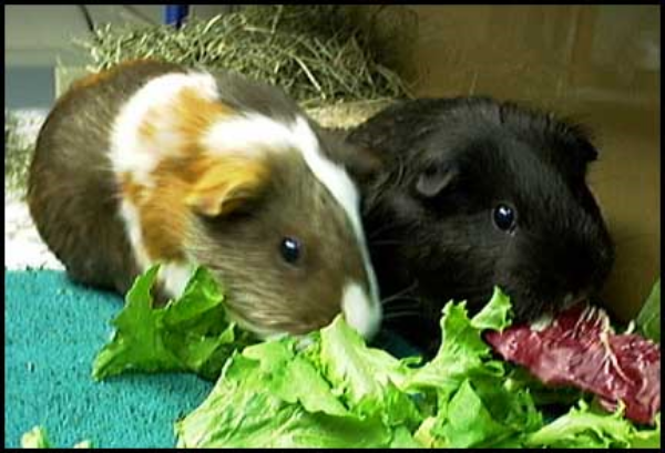 Guinea pigs should be fed vegetables ©Getty Images