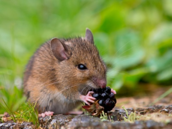 Wild field mouse ©Getty Images