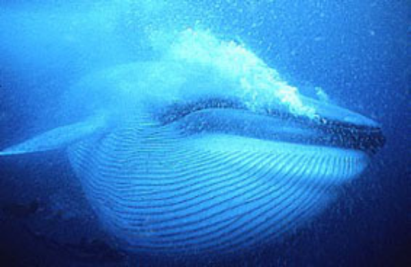 The grooves underneath its mouth expands when the blue whale feeds © Getty Images
