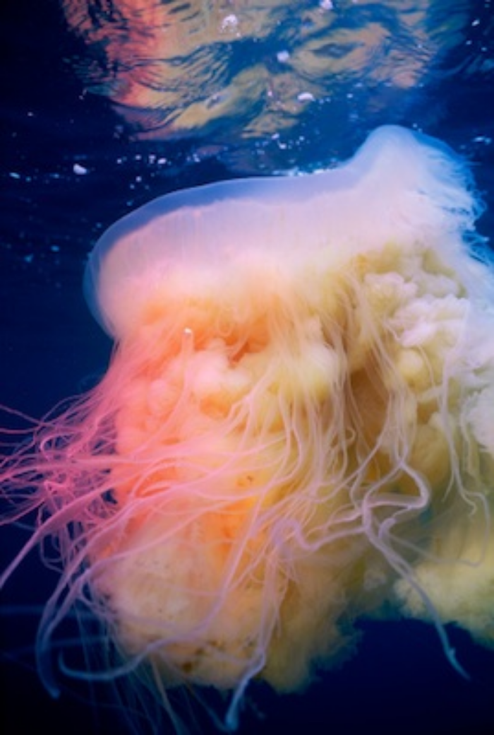 Lions mane jellyfish, one of the largest. ©Getty Images