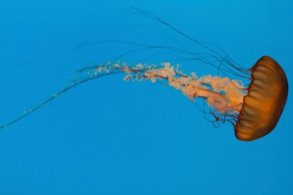 Large black sea nettle jellyfish. Its sting is painful to humans but not lethal. ©Getty Images