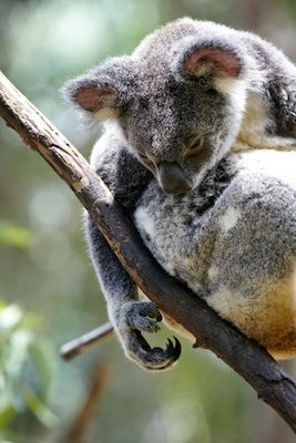 Can you see that a koala has two thumbs on its arms? Getty Images