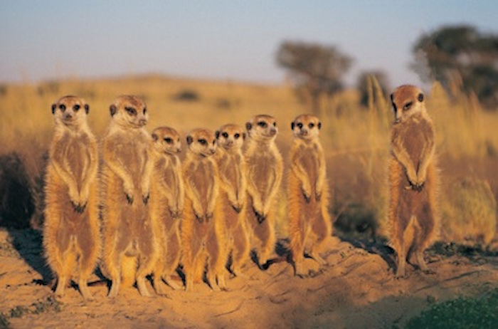 Meerkats stand facing the sun to warm up. Getty Images