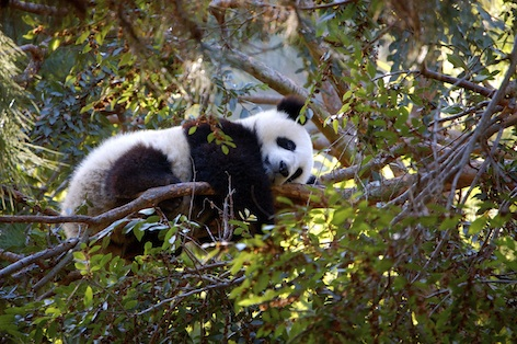 This panda is having a nap in a tree. Getty Images