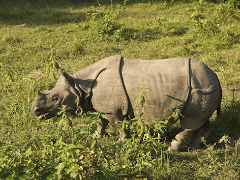 Indian rhinoceros. Getty Images
