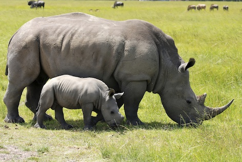 Southern white rhinoceros cow and calf. Image©kidcyber