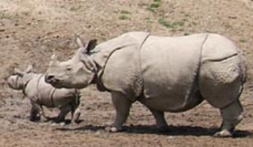 Indian rhinoceros and calf. Getty Images