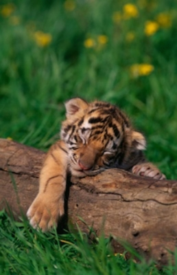 Bengal tiger nap time. Getty Images