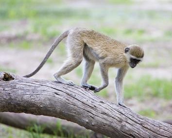 Vervet monkey. Image ©kidcyber