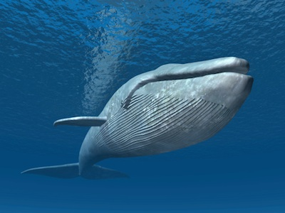 Blue whale. Getty Images