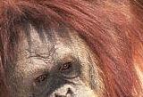 oranghead_s.jpg