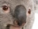 koala_nose.jpg