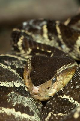 snake_urutu_face_TS.jpg