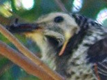 Yellow Wattlebird head.jpg