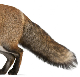 fox_tail.jpg