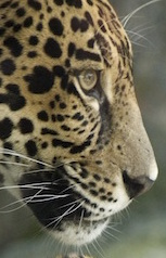 jaguar_profile.jpg