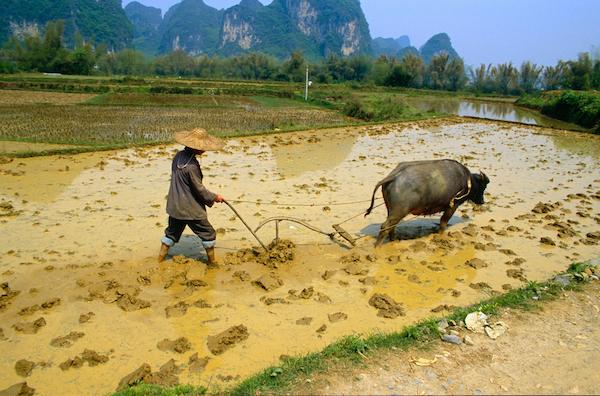 A farmer in China ploughing a paddy field with a buffalo pulling the plough. Photo©iStock