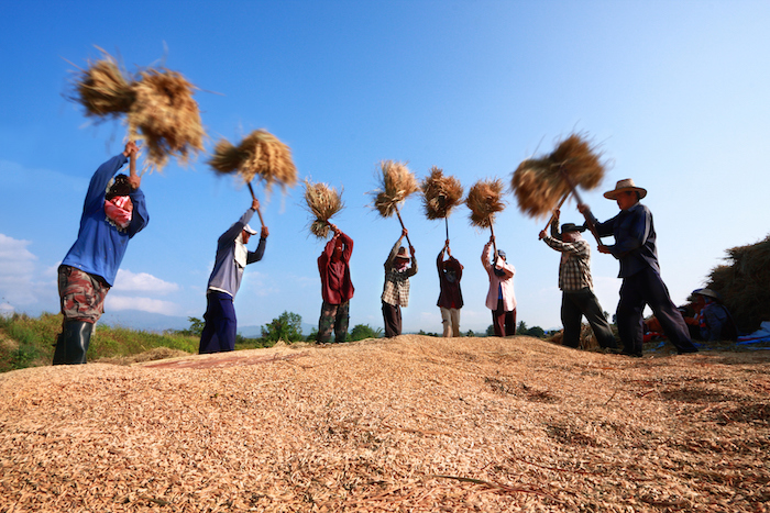 In many areas of Asia the threshing is done by hand. In this farm, bundles of rice are beaten onto the ground and the grains fall off. Photo©iStock
