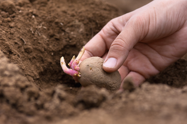 A potato with a sprouting 'eye' being hand planted. ©iStock