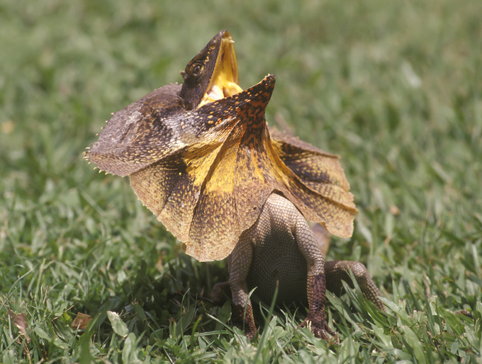 When it is frightened the frilled lizard spreads its frill, raises its body, and opens its mouth...wide! 'Look how fierce I am'©iStock