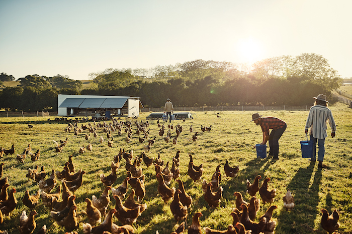Free range chickens run in the field during the day and go into sheds at night for safety and to lay eggs in nests. ©iStock