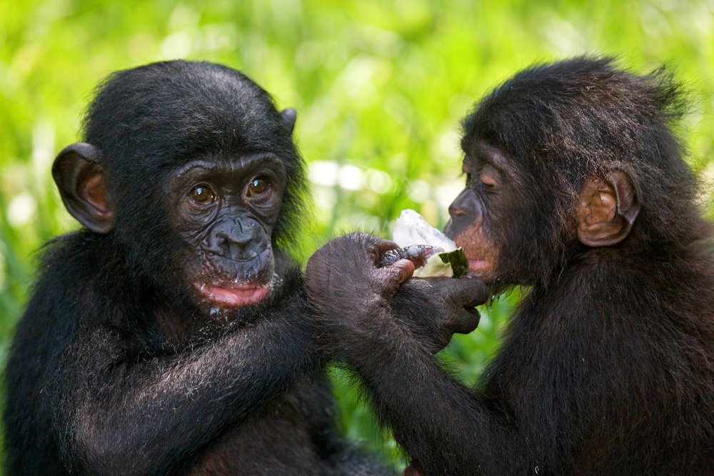Young bonobos. Photo©Getty