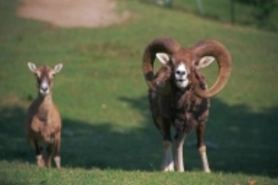 On the island of Gigli in Tuscany there are wild goats called mufloni (left). This kind of goat is very endangered.