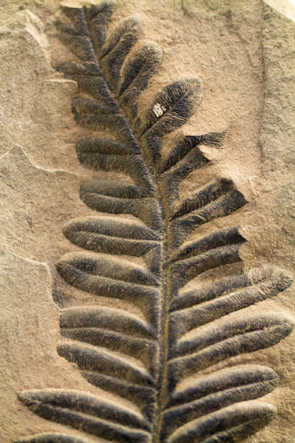 Plants can become fossils ©istock