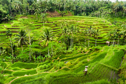 Rice is grown on terraces cut into the hilly country side. ©iStock