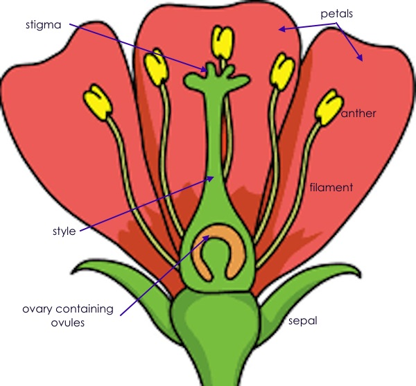 flower parts annotated.jpg